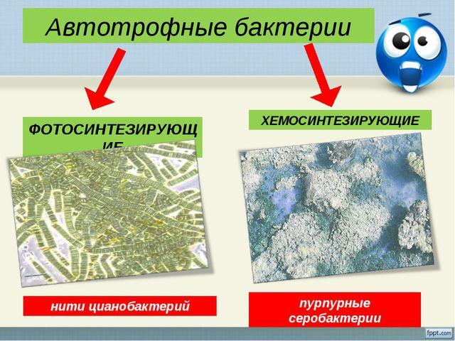Автотрофные бактерии ФОТОСИНТЕЗИРУЮЩИЕ ХЕМОСИНТЕЗИРУЮЩИЕ пурпурные серобактер...