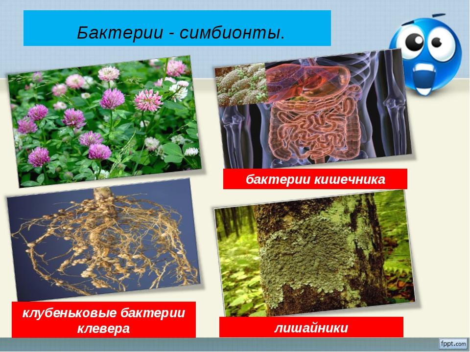 Бактерии - симбионты. лишайники бактерии кишечника клубеньковые бактерии кле...