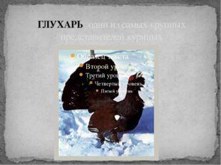 ГЛУХАРЬ один из самых крупных представителей куриных