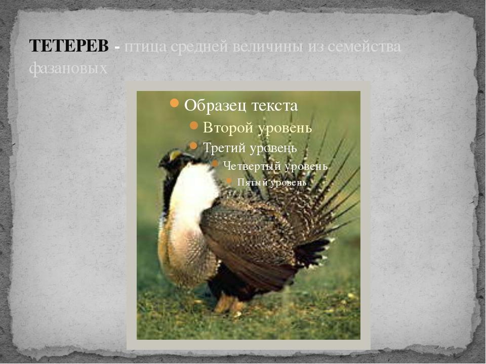 ТЕТЕРЕВ - птица средней величины из семейства фазановых