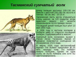 Тасманский сумчатый волк  В длину тилацин достигал 100-130 см, вместе с хвос