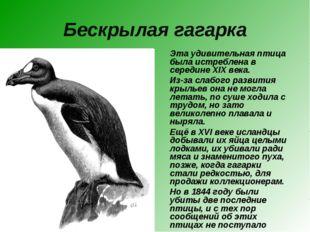 Бескрылая гагарка Эта удивительная птица была истреблена в середине XIX века.