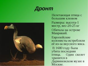 Дронт Нелетающая птица с большим клювом Размеры: высота-1 местр, вес-20-25 к