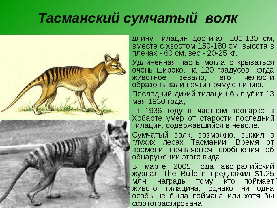 Тасманский сумчатый волк  В длину тилацин достигал 100-130 см, вместе с хвос...