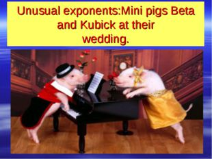 Unusual exponents:Mini pigs Beta and Kubick at their wedding.