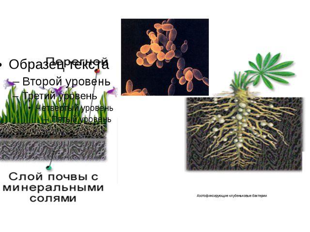 Азотофиксирующие клубеньковые бактерии