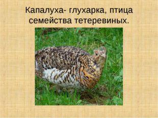 Капалуха- глухарка, птица семейства тетеревиных.