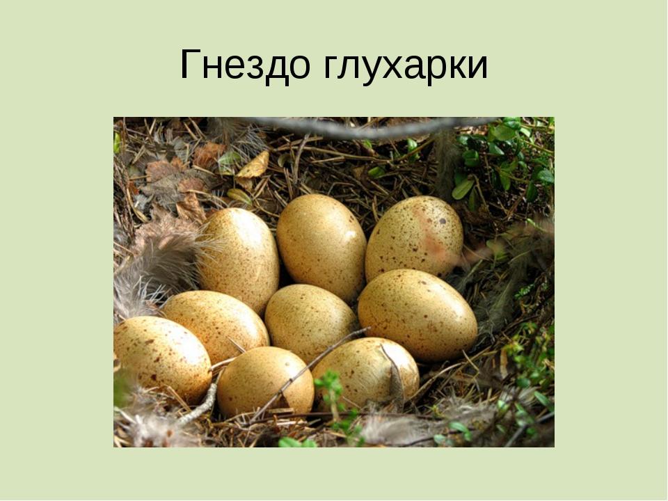 Гнездо глухарки