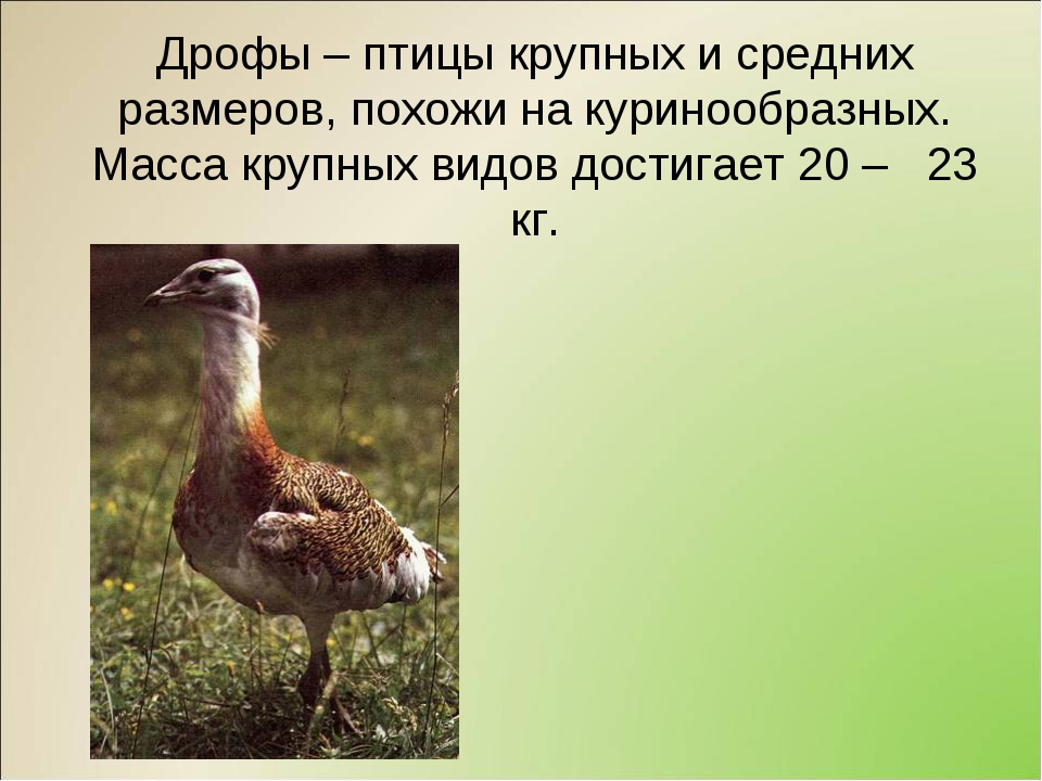 Дрофы – птицы крупных и средних размеров, похожи на куринообразных. Масса кру...