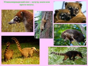 Южноамериканский енот – кучучу, коати или просто носуха.