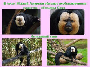 В лесах Южной Америки обитают необыкновенные существа –обезьяны Саки  белол
