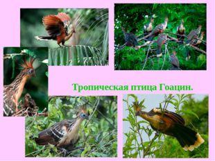 Тропическая птица Гоацин.