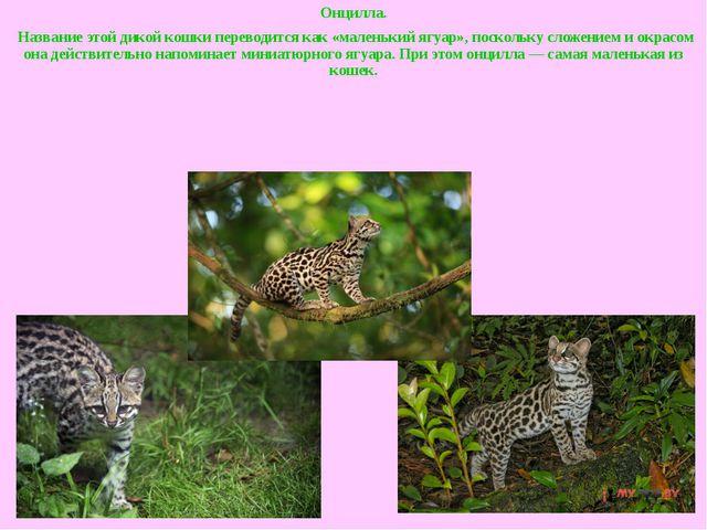 Онцилла. Название этой дикой кошки переводится как «маленький ягуар», посколь...