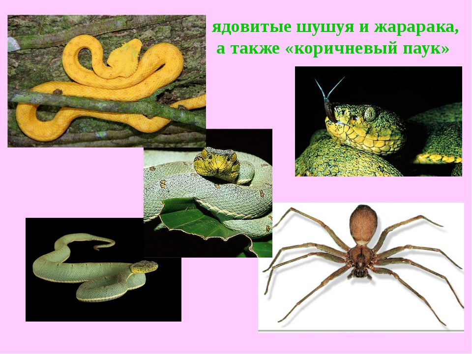 ядовитыешушуяи жарарака, а также «коричневый паук»