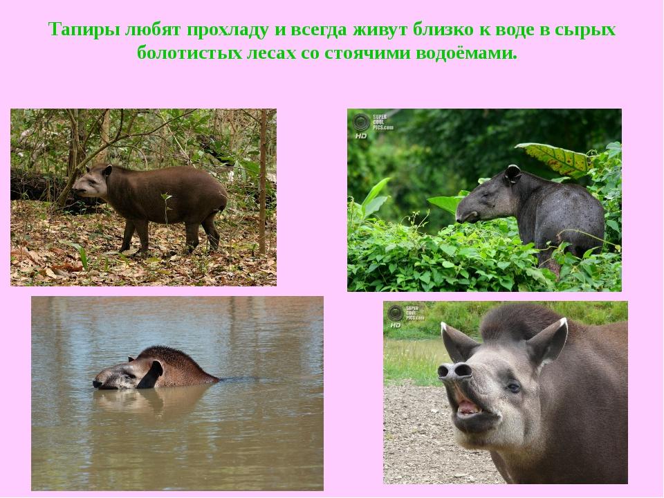 Тапиры любят прохладу и всегда живут близко к воде в сырых болотистых лесах с...