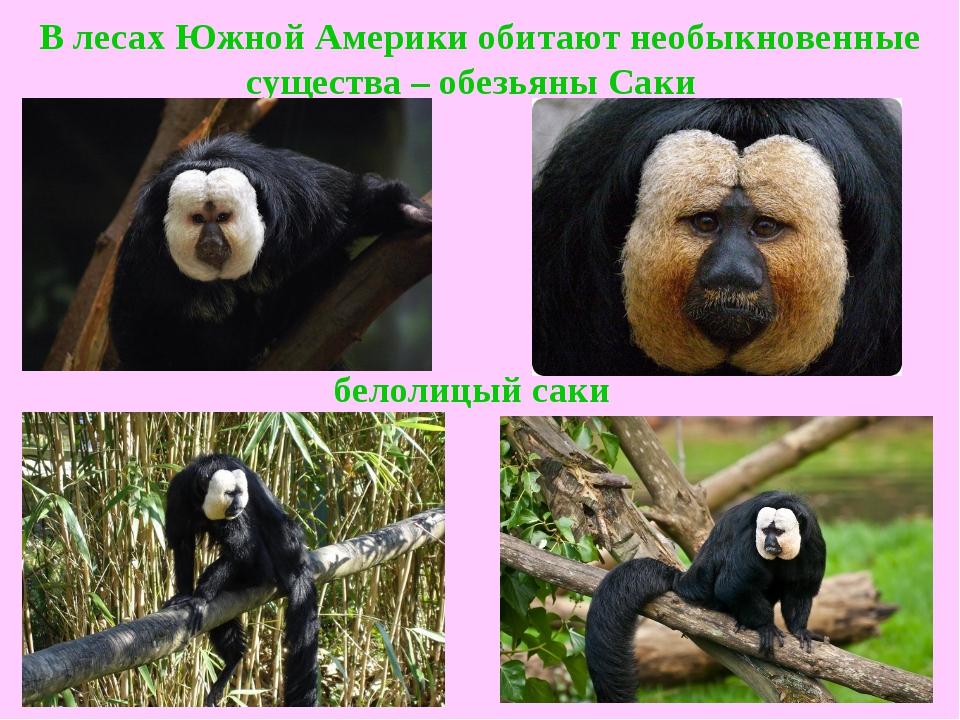 В лесах Южной Америки обитают необыкновенные существа –обезьяны Саки  белол...