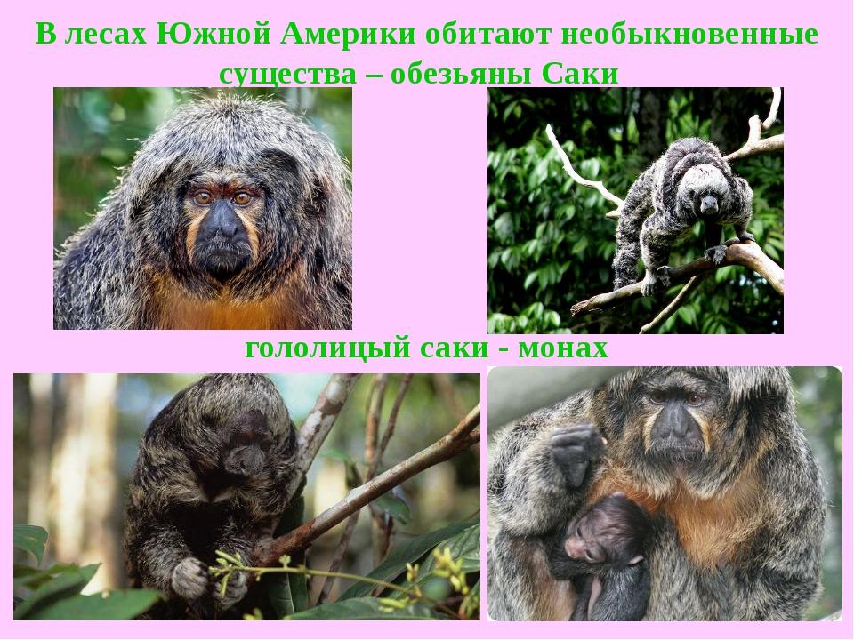 В лесах Южной Америки обитают необыкновенные существа –обезьяны Саки  голол...