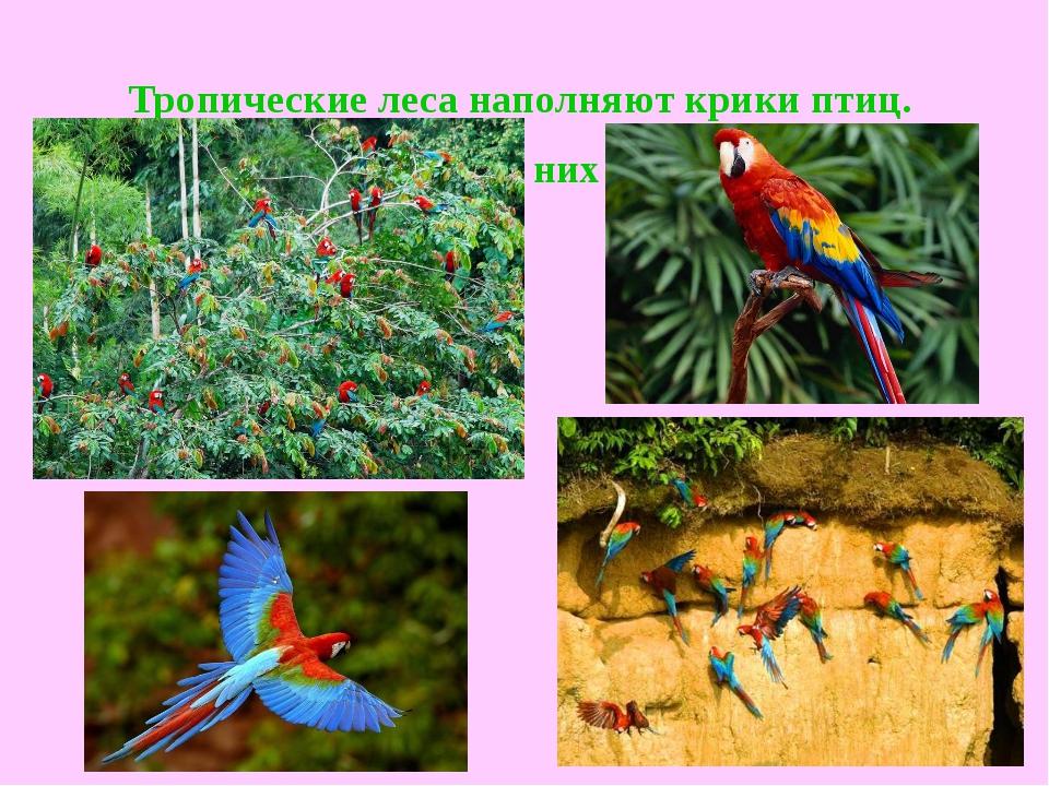 Тропические леса наполняют крики птиц. Самые громкие из них - попугаи ара.