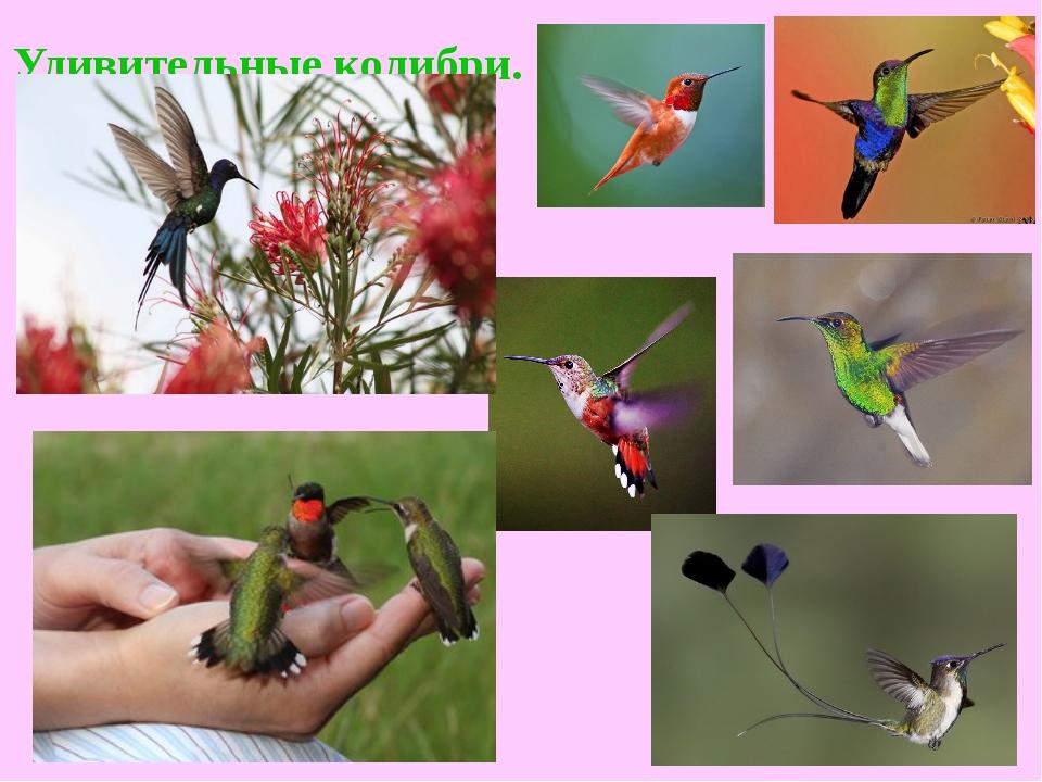 Удивительные колибри.