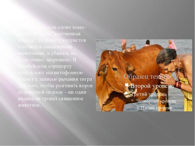 """В санскрите есть слово хома-дхену, то есть """"жертвенная корова"""". Коровы у инд..."""