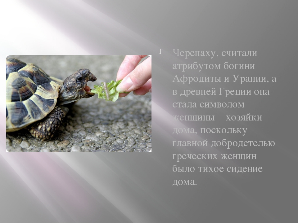 Черепаху, считали атрибутом богини Афродиты и Урании, а в древней Греции она...