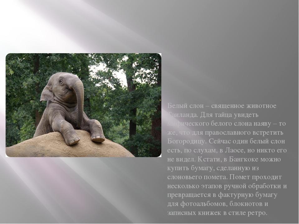 Белый слон – священное животное Таиланда. Для тайца увидеть мифического бело...