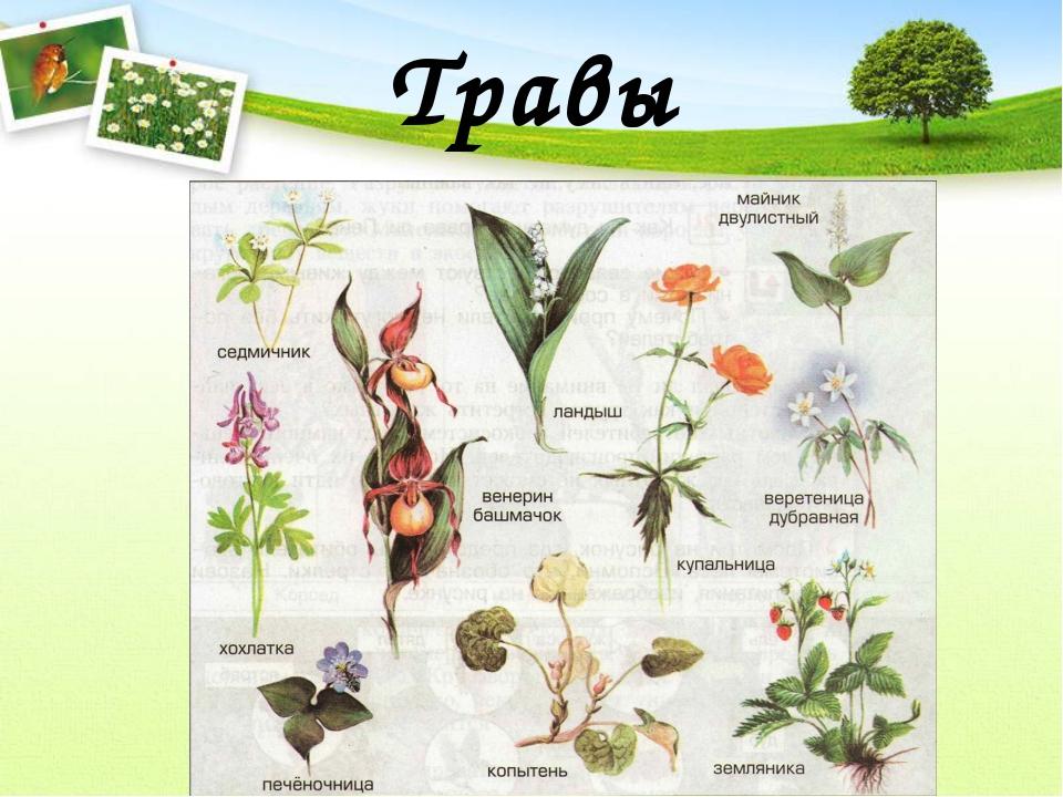 растения леса беларуси в картинках с названиями несколько лет очень