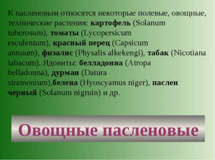 Овощные пасленовые К пасленовым относятся некоторые полевые, овощные, техниче