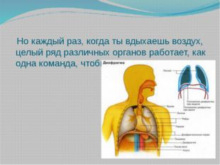 Но каждый раз, когда ты вдыхаешь воздух, целый ряд различных органов работае