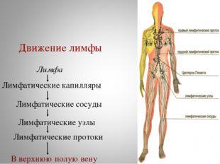 Лимфатические капилляры Лимфатические сосуды Лимфатические узлы Лимфатические