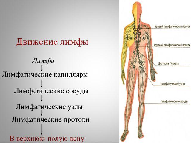 Лимфатические капилляры Лимфатические сосуды Лимфатические узлы Лимфатические...