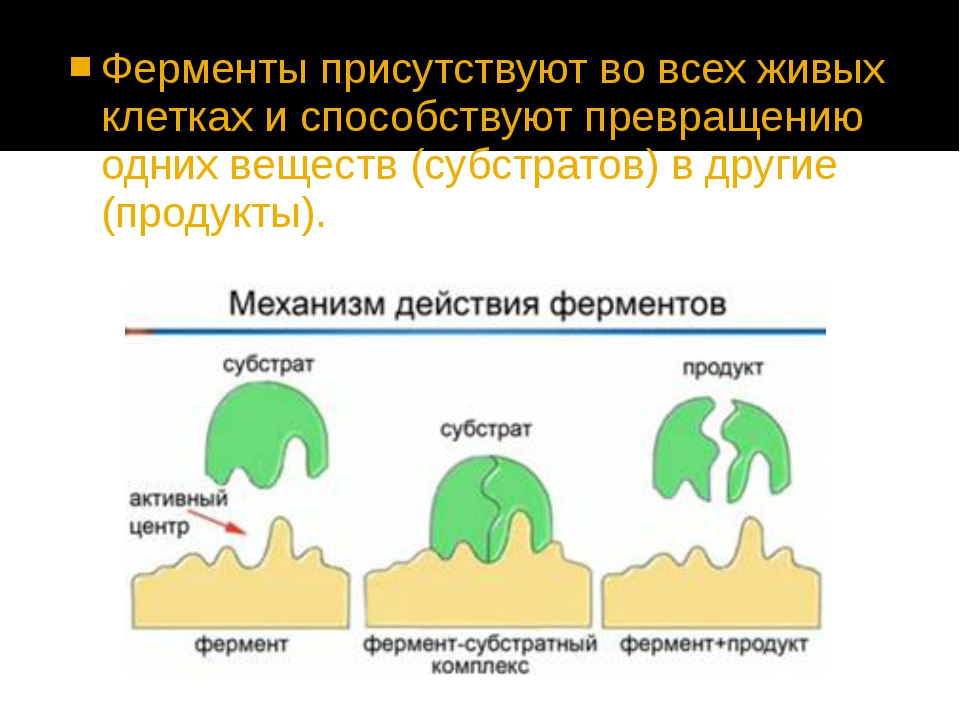 Ферменты присутствуют во всех живых клетках и способствуют превращению одних...