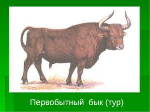 Первобытный бык (тур)