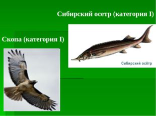 Скопа (категория I) Cибирский осетр (категория I)