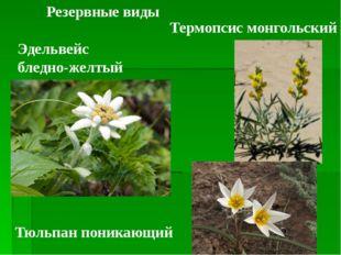 Резервные виды Эдельвейс бледно-желтый Термопсис монгольский Тюльпан поникающий