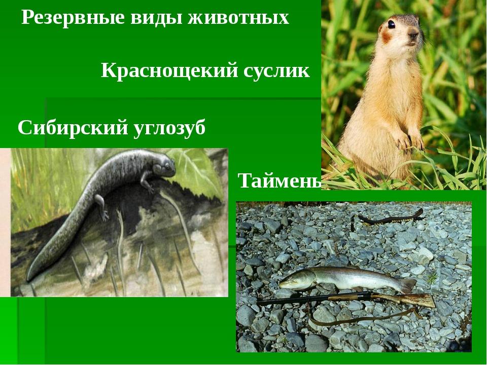 Резервные виды животных Краснощекий суслик Сибирский углозуб Таймень