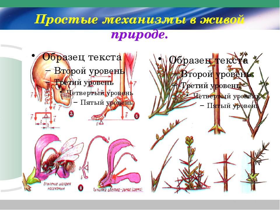 Простые механизмы в живой природе.