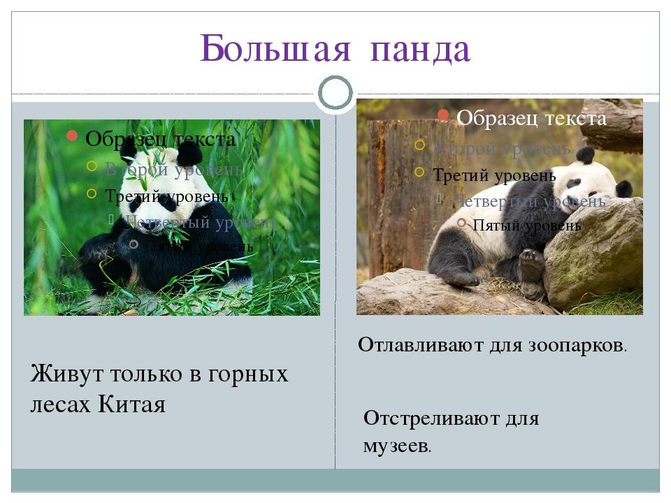 Большая панда Живут только в горных лесах Китая Отлавливают для зоопарков. От...