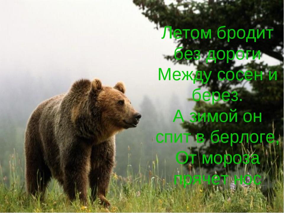 Летом бродит без дороги Между сосен и берез. А зимой он спит в берлоге, От мо...