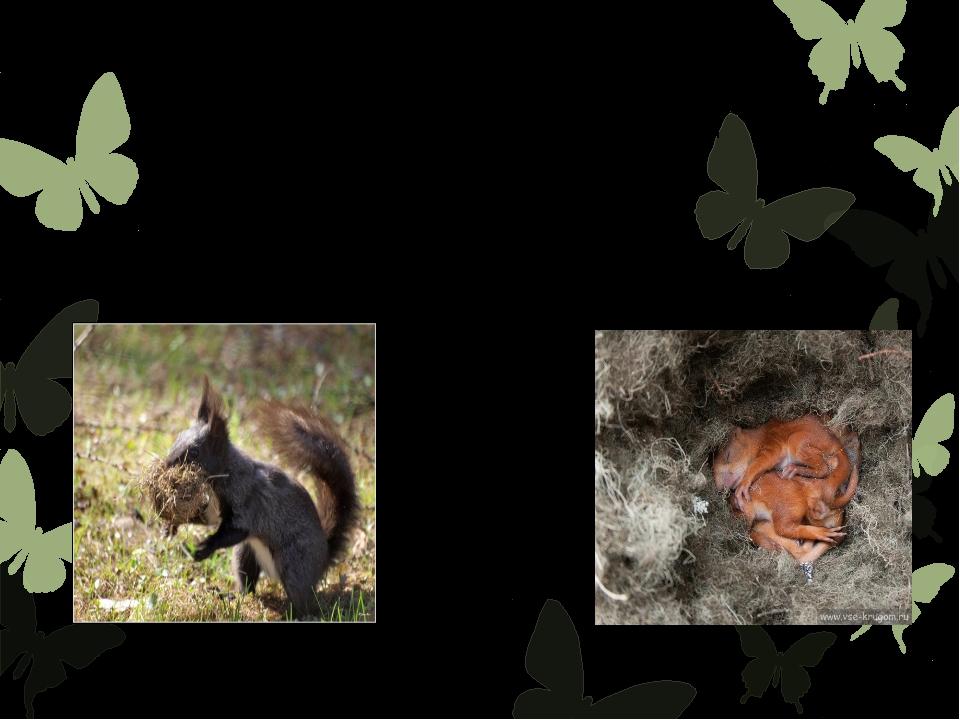 Гнездобелкаустраивает или в дуплах деревьев, натаскивая туда древесных лиша...