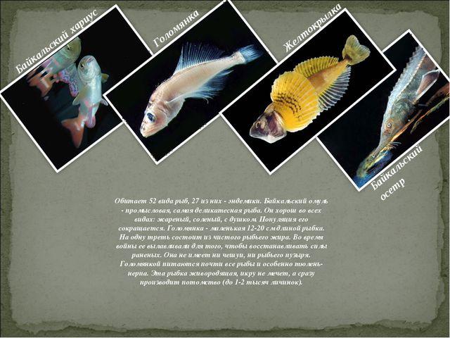 Обитает 52 вида рыб, 27 из них - эндемики. Байкальский омуль - промысловая, с...