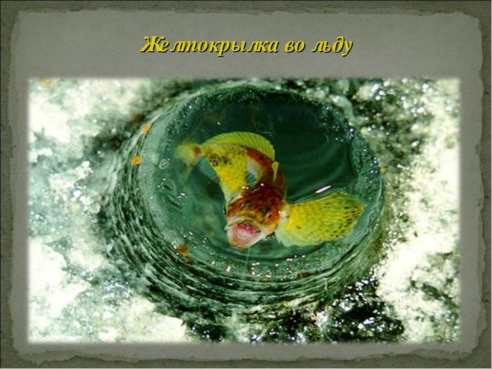 Желтокрылка во льду