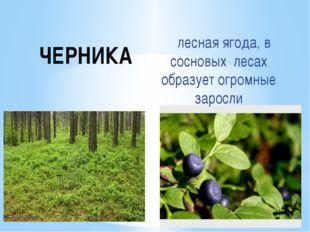 ЧЕРНИКА лесная ягода, в сосновых лесах образует огромные заросли