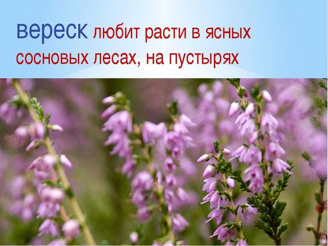вереск любит расти в ясных сосновых лесах, на пустырях