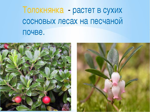 Толокнянка - растет в сухих сосновых лесах на песчаной почве.