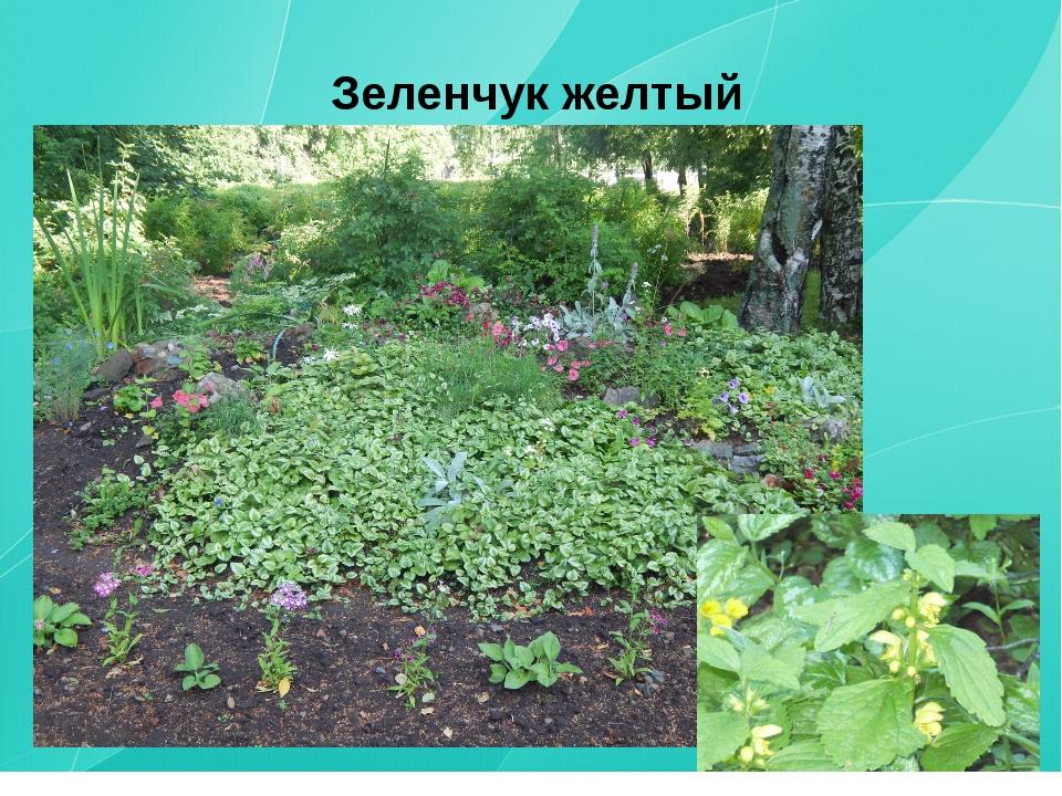 Зеленчук желтый