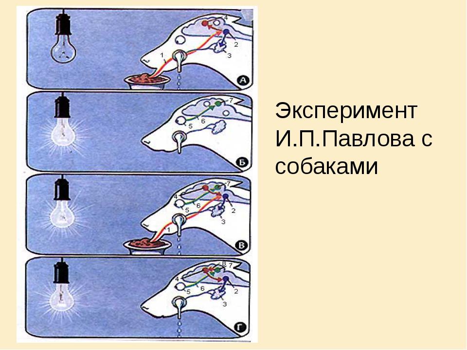 Эксперимент И.П.Павлова с собаками