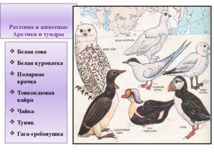 Растения и животные Арктики и тундры Белая сова Белая куропатка Полярная крач