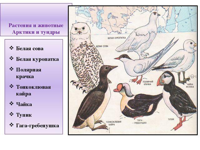 Растения и животные Арктики и тундры Белая сова Белая куропатка Полярная крач...