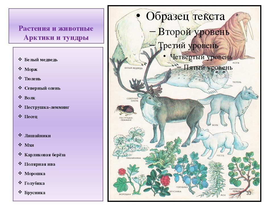 Растения и животные Арктики и тундры Белый медведь Морж Тюлень Северный олень...